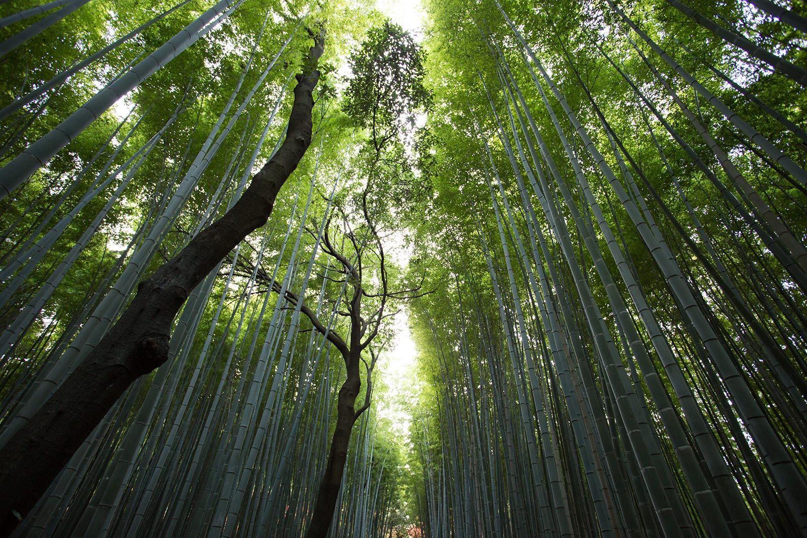 Bambú reinvención